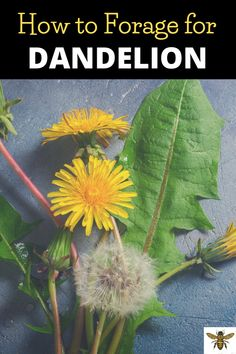 Did you know that dandelion has many uses as well as many health benefits???  Let me teach you how to forage for dandelion and how to use it!  It's easy and fun to forage for dandelion! #dandelion