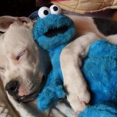 pit bull, If this isn't the cutest pic!! <3