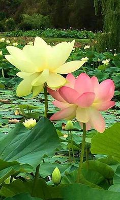 Blossom Garden - Paradise of Flowers! Most Beautiful Flowers, Exotic Flowers, Pretty Flowers, Lotus Flower Pictures, Container Water Gardens, Lotus Plant, Blossom Garden, Flowers Nature, Flower Wallpaper