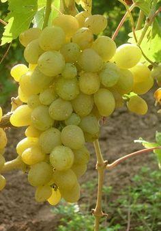Описание сорта винограда Первозванный Fruit, Food, Essen, Meals, Yemek, Eten