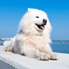Click to learn about the American Eskimo Dog