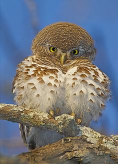 African barred owlets are found in Angola, Botswana, Central African Republic, Republic of the Congo, Democratic Republic of the Congo, Kenya, Malawi, Mozambique, Namibia, Somalia, South Africa, Swaziland, Tanzania, Uganda, Zambia, and Zimbabwe. Photographed here in the Kruger National Park (South Africa).