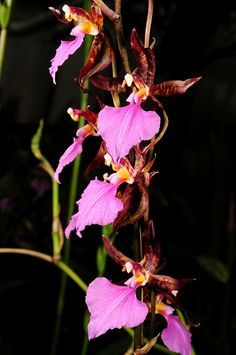 Rhynchostele bictoniensis 'Maximilian Reuter' - inflorescence - Flickr - Photo Sharing!
