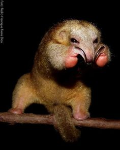 The silky anteater, or pygmy anteater, (Cyclopes didactylus) is a species of anteater from Central and South America. It is the only living species in the genus Cyclopes and the family Cyclopedidae.