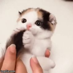 Cat Loves Its Tail cute animals cat cats adorable animal kittens pets gifs kitten gif funny animals