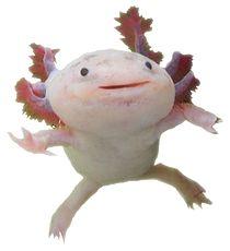 Silly Axolotls | Complete Axolotl Caresheet