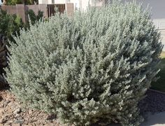 Shrubs | Shrub Nursery | Shrubs for Sale Mesa, Gilbert, and Queen Creek