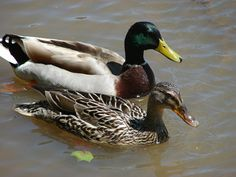 mallard- the one with the green head is the male and the one with the orange beak is the female.