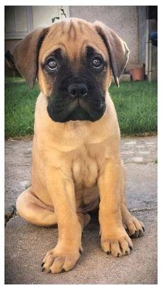 Guard Dog Breeds, Loyal Dog Breeds, Loyal Dogs, Cute Dogs Breeds, Brindle Mastiff, Bull Mastiff Puppies, Boxer Puppies, Bullmastiff, Chien Cane Corso