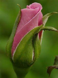 Beautiful rosebud ...