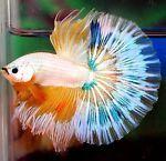 Live betta fish HM MALE yellow green blue white black <> APACHE FIRESTORM <> NEW   Pet Supplies, Fish & Aquariums, Live Fish   eBay!