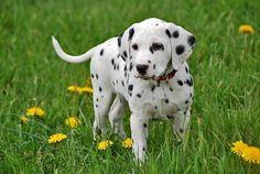 Cute Dalmatian!