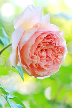 Beautiful Rose!