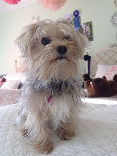 41 Best Morkies Images Cute Baby Dogs Cute Puppies Morkie Puppies