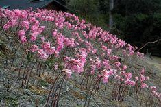 Plant World: Amaryllis belladonna