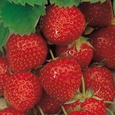 """Strawberry """"Elsanta"""""""