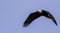 Sworldguy posted a photo:  I haven't attempted to shoot much wildlife lately so this afternoon we heard there was a great location in the Boundary Bay area in Delta for bird watching. I had no idea that we would find so many Eagles and other birds of prey that would be so accessible.
