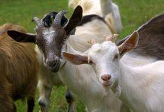 El genoma de la cabra completo