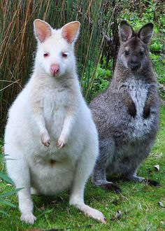 Wallabies - is a smaller than kangaroos and have smaller feet and shinier coats. Eats leaves instead of grass. Zoo Animals, Funny Animals, Cute Animals, Amazing Animal Pictures, Bruny Island, Quokka, Norwegian Forest Cat, All Gods Creatures, Albino