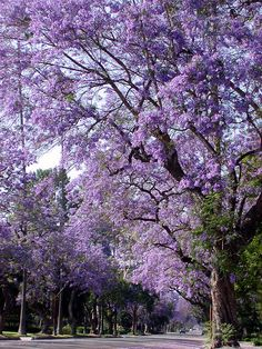 Jacarandas...My Mom's favorite tree.  I remember my Father planting one for her.....he cut his thumb on the tin...........