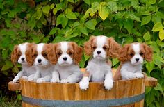 PUP 10 MA0009 01 - Cavalier King Charles Spaniel Puppies Peeking Out Of Basket On Grass - Kimballstock