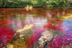 Caño Cristales is considered by many to be the world's most beautiful river. This accolade might seem like hyperbole, but only by visiting is it possible to fully appreciate the beauty of this Colombian paradise.