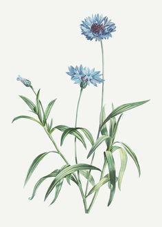"""Blue Flower Vintage Botanical"" by Vintage Posters Plum Flowers, Small White Flowers, Botanical Flowers, Botanical Prints, Flowers Garden, Exotic Flowers, Yellow Roses, Pink Roses, Ranunculus Flowers"