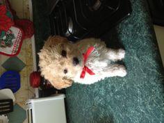 #maltipoo #puppy i want!