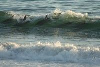 Dolphins surfing near shore in Carpenteria CA. Carpinteria Beach, National Geographic Photo Contest, Ventura County, California Beach, Golden State, Wild Animals, Vacation Destinations, Dolphins, Beaches