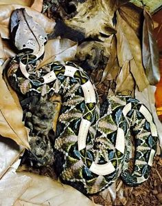 Gaboon Viper (Bitis gabonica) with particularly lustrous teal and jade markings.