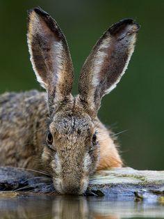 Hare by Robert Bannister on Flickr. Chaud lapin, le lièvre d'Amérique s'accouple de la fin mars jusqu,à la fin de juin. La femelle produira ensuite, de mai à septembre 3 à 4 portées comptant chacune de 1 à 9 levrauts. L'espèce s'observe dans des milieux forestiers variés mais surtout aux abords des peuplements en régénération.