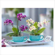 #orchids #phalaenopsis