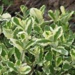 Mentha variegata