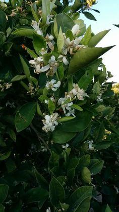 Naranjo en flor en la huerta de Alboraya.