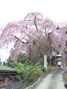 枝垂れ桜2015.04