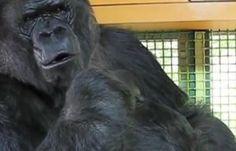 جماعة تدافع عن الحياة البرية تحذر من مخاطر هروب غوريلا من حديقة حيوان لندن - نشر الاخبار (مدونة)
