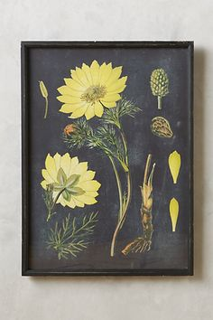 Botanical Specimen Print #anthropologie