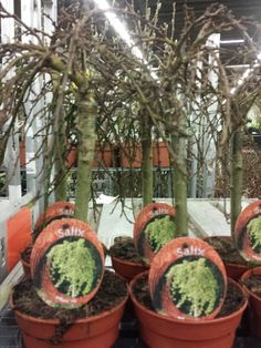 #Salix #Arbuscula; Available at www.barendsen.nl