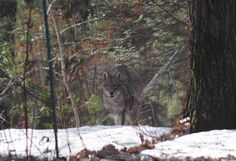"""From Casey Bennett of Saylorsburg: """"On 3/19/2015 my dogs alerted to something outside. Looking out expecting to see a herd of deer, there was a wolf/coyote inside our fence pacing back and forth. Got this great picture. Can anyone identify it?"""""""