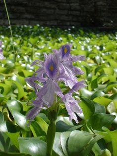 Flores Aquáticas