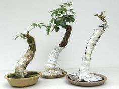 ROOTS styling basics - this is a really good example of how to make exposed root bonsai like this...there are many others at this site for FukuBonsai.com. These are Schefflera that are easily encouraged to make aerial roots. They are a great plant to create bonsai trees!