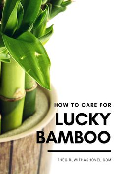 Here's what you need to know to not kill your lucky bamboo! Keep it alive and green with these easy-to-follow instructions!!! KEEP YOUR LUCKY BAMBOO PLANT ALIVE AND HEALTHY WITH THESE SIMPLE TIPS! Lucky Bamboo Care | Lucky Bamboo Plants Care | Lucky Bamboo Care Tips | How to Grow Lucky Bamboo | Lucky Bamboo Care Water | Lucky Bamboo Care Soil | How to Take Care of Lucky Bamboo | Lucky Bamboo Care, Bamboo Plant Care, Lucky Bamboo Plants, House Plants Decor, Plant Decor, All About Plants, Apartment Plants, Dish Garden, Best Indoor Plants