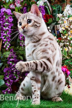 Benglory Bengals of Sumarum Bobislav - Katzen Pretty Cats, Beautiful Cats, Animals Beautiful, I Love Cats, Crazy Cats, Cool Cats, Kittens Cutest, Cats And Kittens, Fat Cats