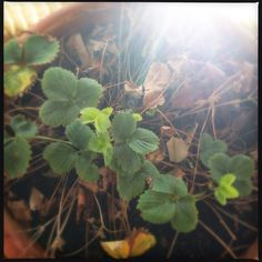 3.6.15 * A Peek Into The Life | Could it be?! Could that new growth on my strawberry plant signal the coming of Spring? Please let it be so, says the warm weather lover. | Gardening | Artsy | Photography |