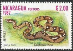 Serpiente Matabuey o Cascabel muda - la serpiente venenosa más larga y robusta de Centroamérica, alcanzando una longitud máxima de 250 cm