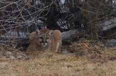 Mountain Lion found near Big Lost River north of Mackay, Idaho