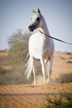 Arabian Horses of Al Zobair Stud - Rayhana Al Zobair