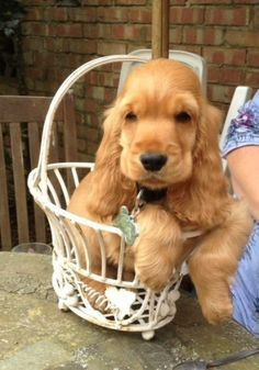 Unique Dog Names Helpful Guide To Finding The Best Name Cocker Spaniel Puppies Golden Cocker Spaniel Puppies Spaniel Puppies