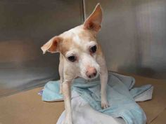MEMO - A1046672 - - Manhattan  TO BE DESTROYED 08/08/15   Check out the expression of regret on Memo's face. He's a 7-year old Chihuahua whose owner became ill sending him and his brother and sister to the shelter. Memo only weighs 9-pounds and he's had very limited worldly experience. He simply wants to close his eyes and wake up from the bad dream back home in his own warm bed. Memo is so frightened that he trembles when sought out by a staff member. In better times