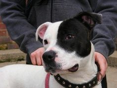 Ollie – 2 year old male Staffordshire Bull Terrier Cross dog for adoption at All Dogs Matter London